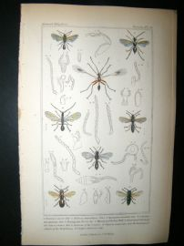 Cuvier C1835 Antique Hand Col Print. Dryinus, Helorus, Galesus, 78 Insects